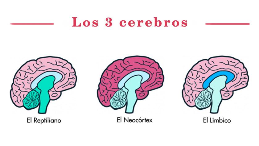 Conocer que tenemos 3 Cerebros incrementa las ventas | Mister Ventas
